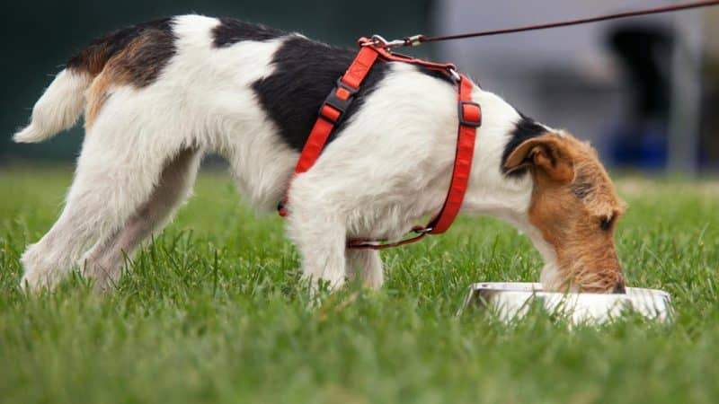 fox terrier comiendo