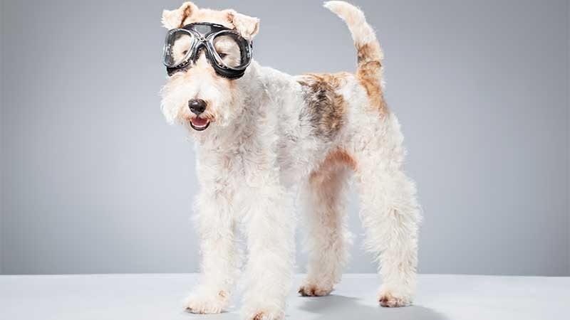 fox terrier de pelo duro con gafas de aviador