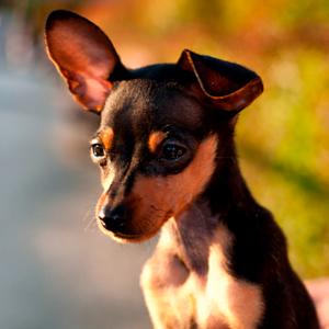Todo sobre el perro Ratón de Praga: Criaderos, precios, cachorros, fotos, características, cuidados, adiestramiento y mucho más