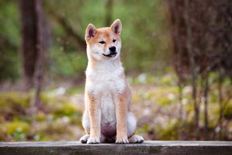 shiba inu sentado sobre una banca de madera