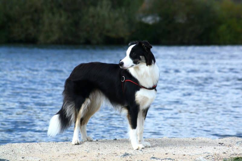 apariencia física del border collie
