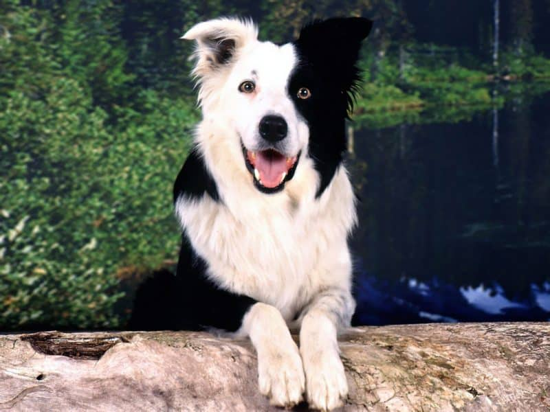 border collie blanco con negro