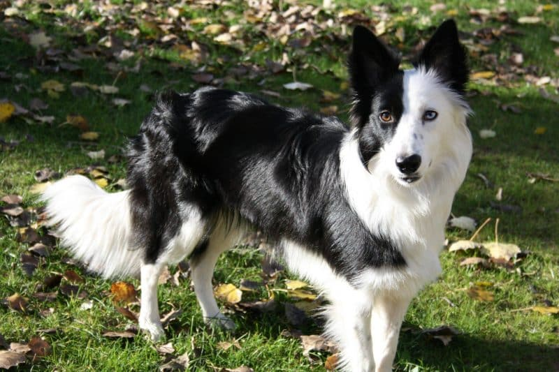 border collie blanco y negro