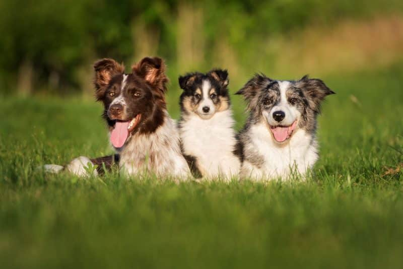 border collie blue merle junto a 2 amigos