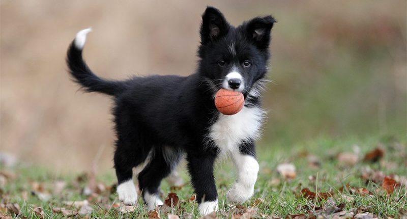 border collie cachorro jugando