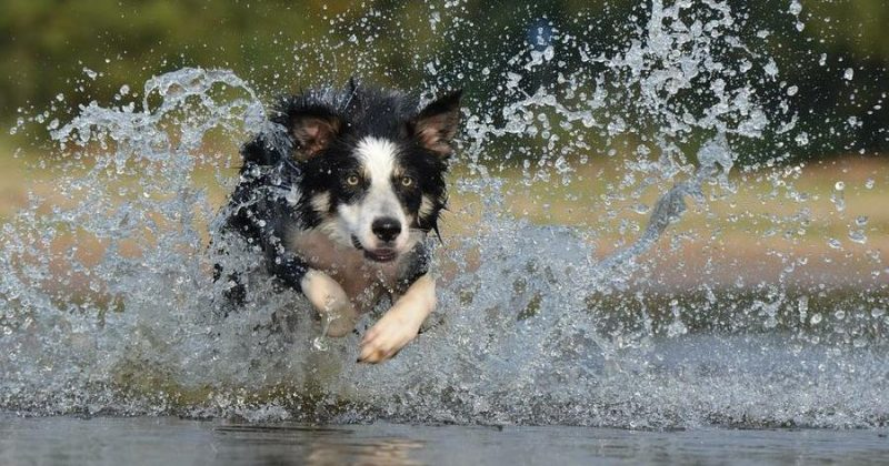 border collie corriendo en una laguna