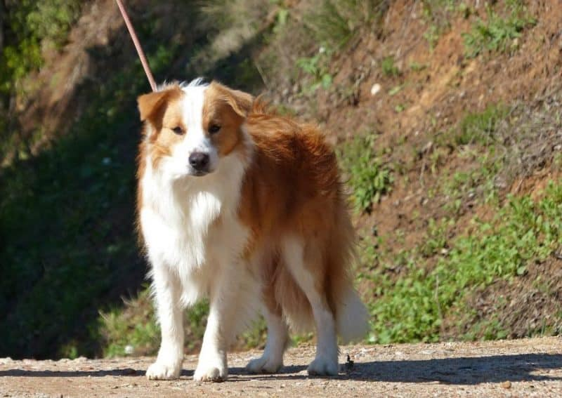 border collie rojo