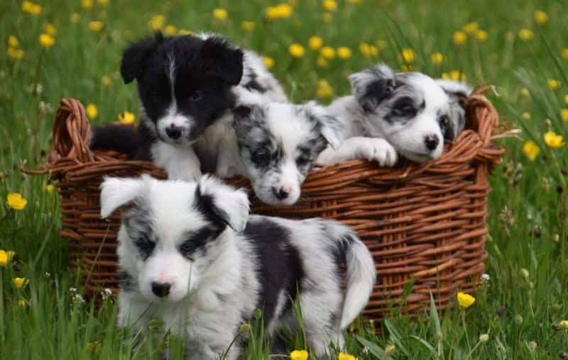 cachorros del border collie
