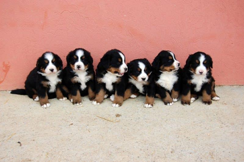 cachorros del boyero de berna