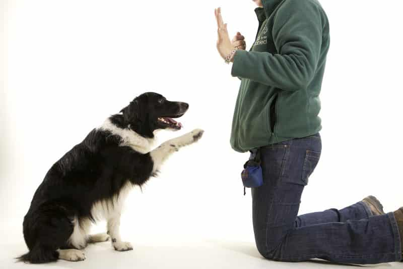 como adiestrar a un border collie