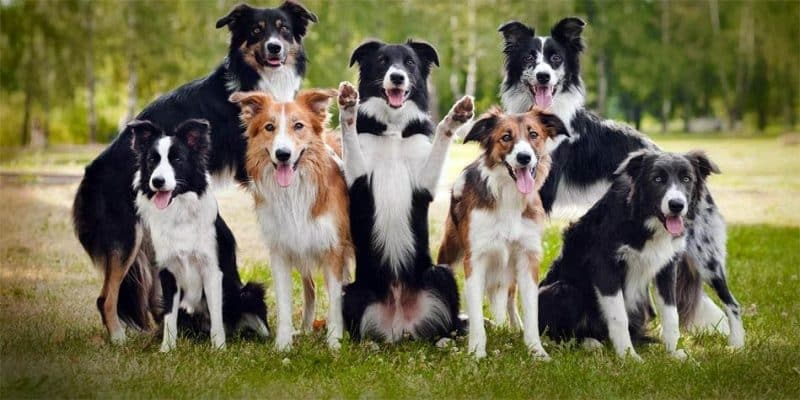 diferentes tipos de border collie
