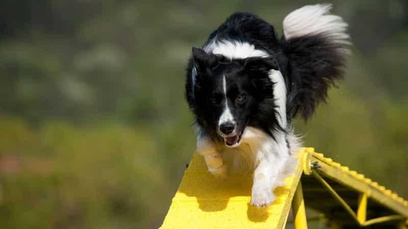 ejercicios para el border collie