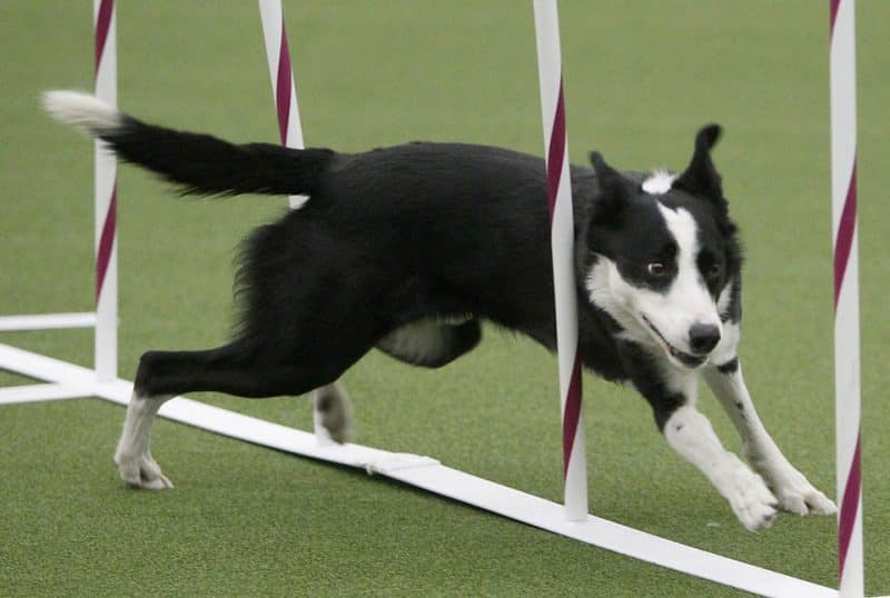 entrenamiento para un border collie