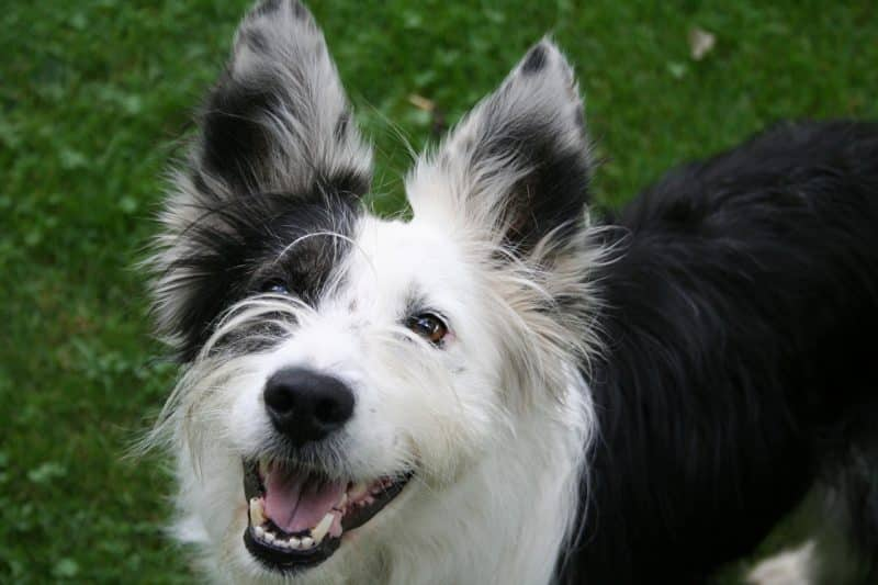 higiene del border collie