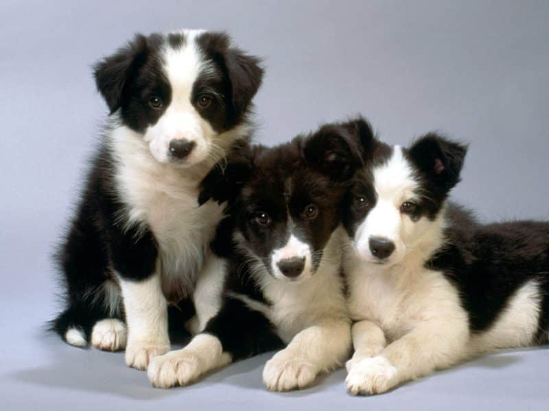 socializar al border collie