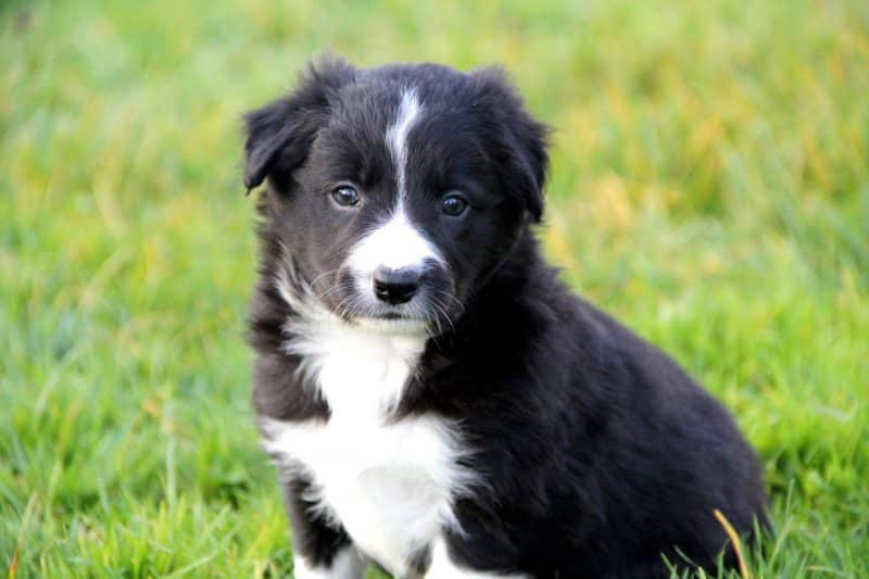 temperamento del border collie