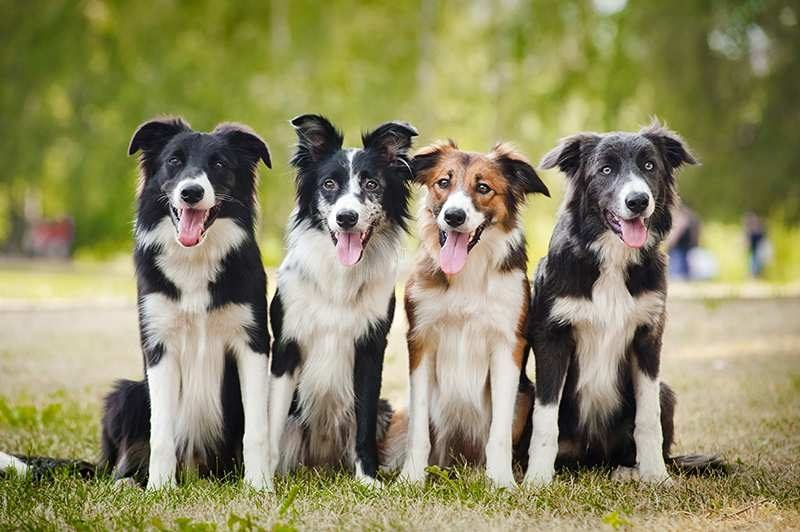 tipos de border collie