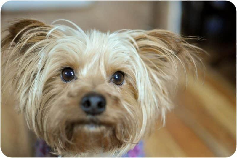 australian silky terrier cabeza