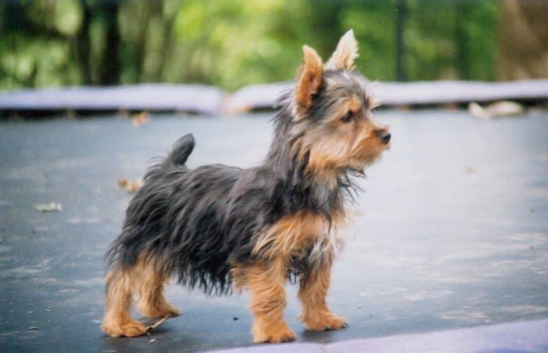 australian silky terrier cachorro parado