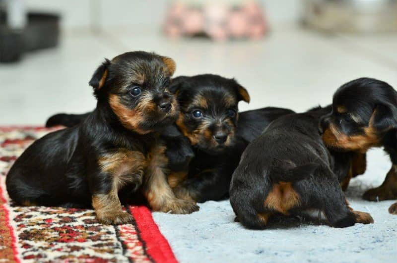 australian silky terrier cachorros