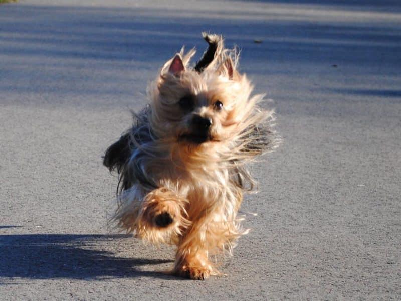 australian silky terrier corriendo