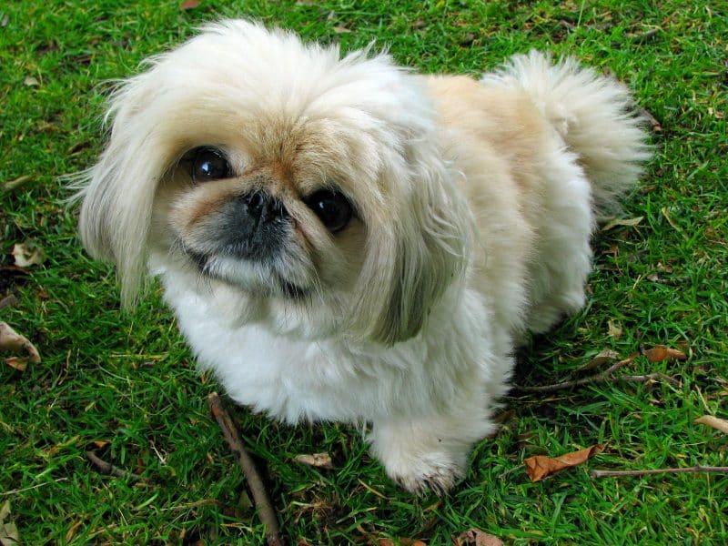 cabeza de un perro pekines