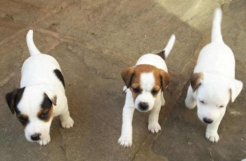 cachorros del parson russell terrier