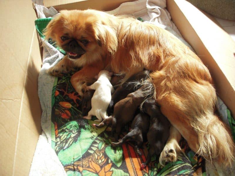 cachorros del perro pekines