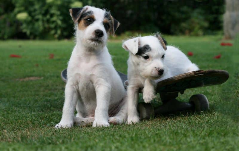 carácter del parson russell terrier