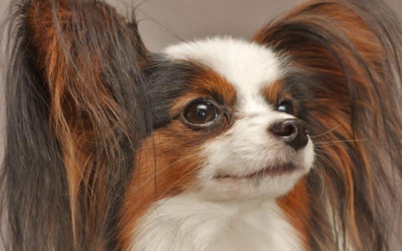 características del perro papillon o continental toy spaniel
