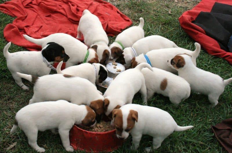 cómo alimentar a un cachorro de parson russell terrier