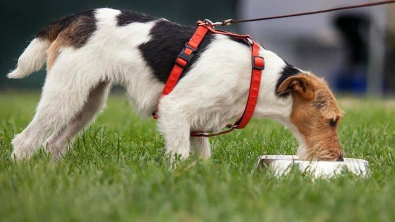 cómo alimentar a un parson russell terrier adulto