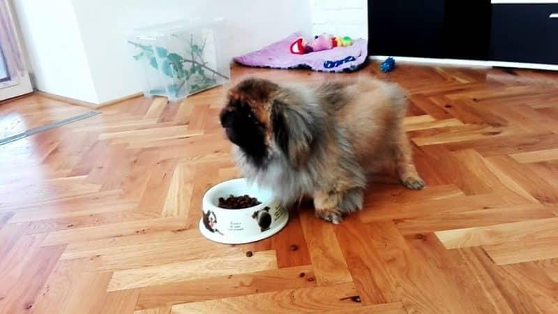 cómo alimentar a un perro pekines