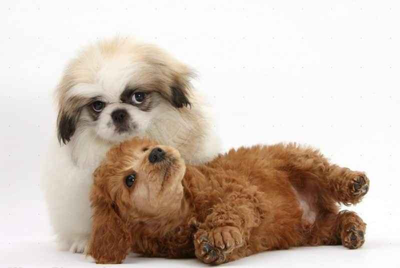 como se relaciona el pekinés con otros perros