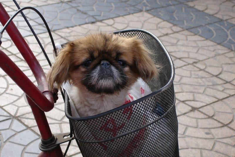 consejos para comprar un perro pekines