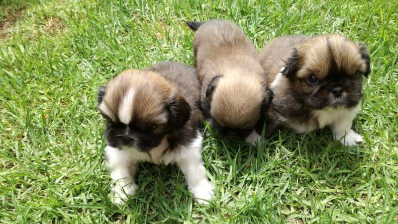 criaderos de perros pekines