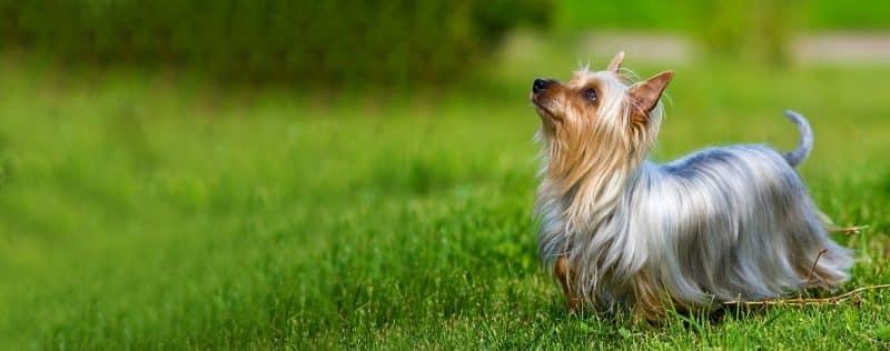 cual es el origen del australian silky terrier