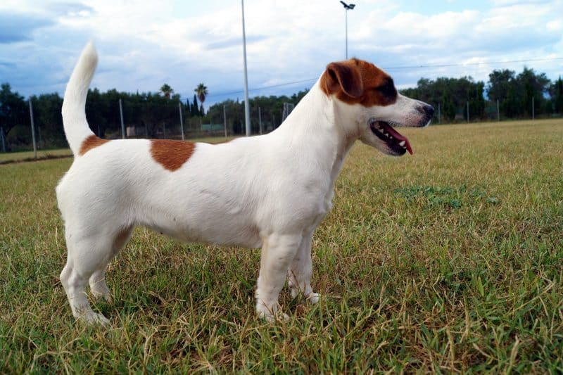 cuerpo del parson russell terrier