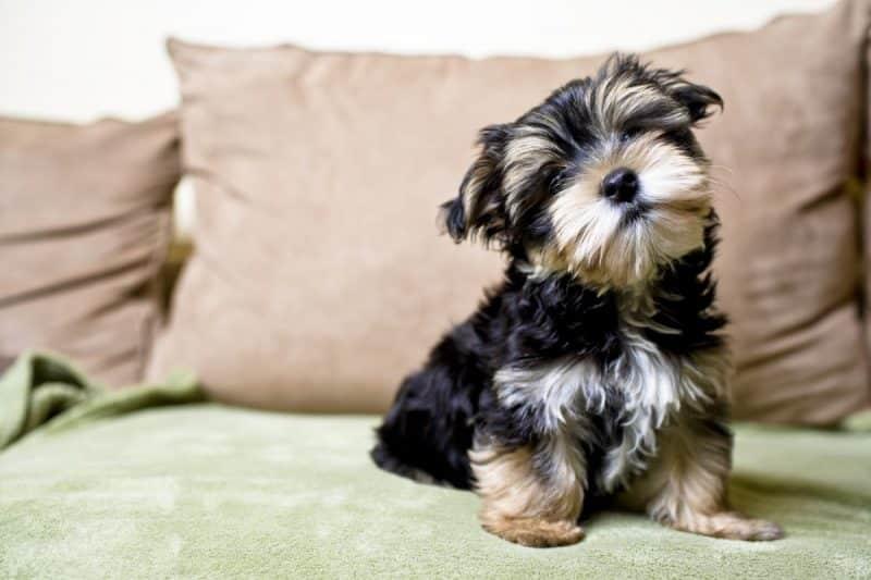 diferencias entre silky terrier y yorkshire