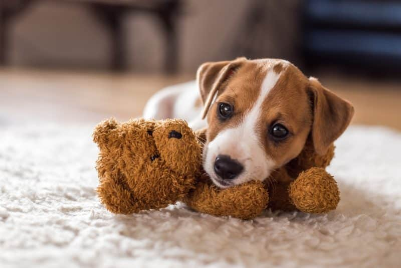 jack russell con peluche