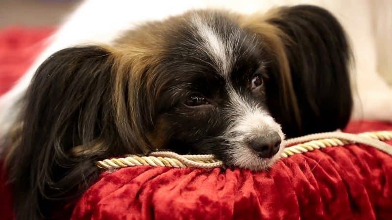 esperanza de vida del perro papillon o continental toy spaniel