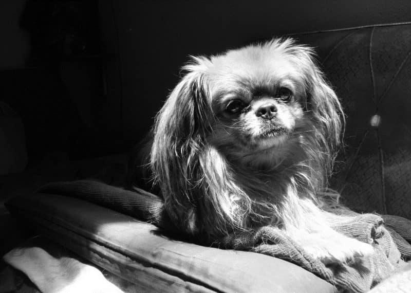 esperanza de vida del perro pekines