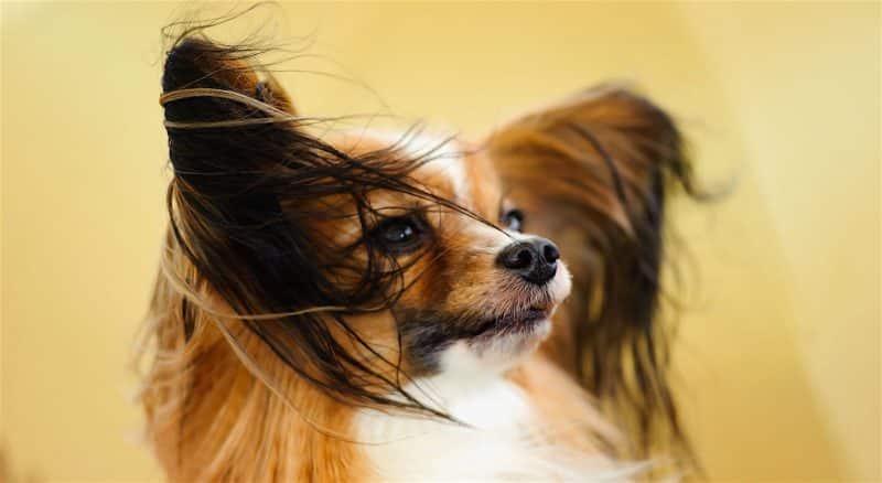 foto de las orejas de un perro papillon