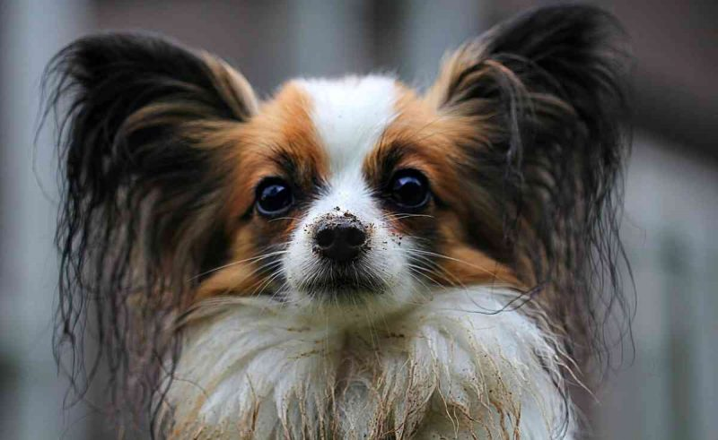foto de un perro papillon despeinado