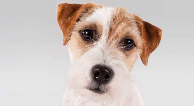 fotos de parson russell terrier