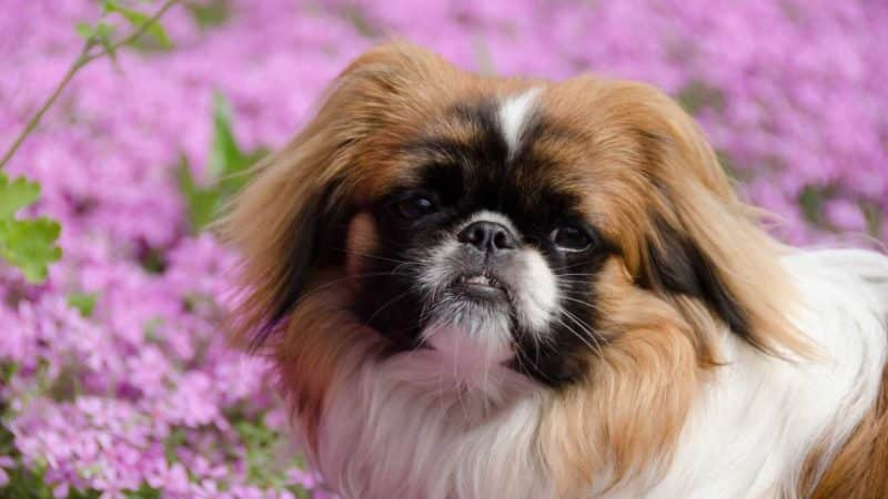 imagenes de perros pekines