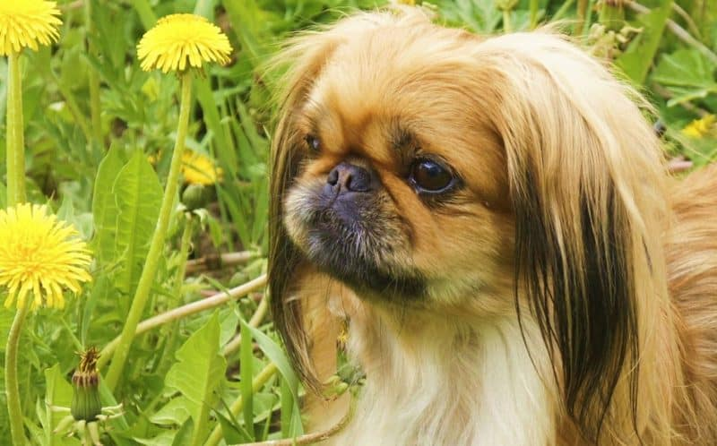 orejas del perro pekines