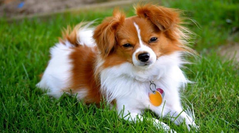 orígenes del perro papillon o continental toy spaniel