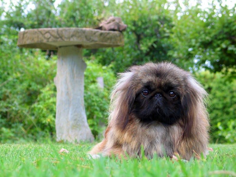 orígenes del perro pekines