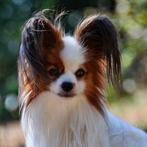 Todo sobre el Perro Papillón: Precios de venta, fotos, características,  cuidados, enfermedades, adiestramiento y mucho más